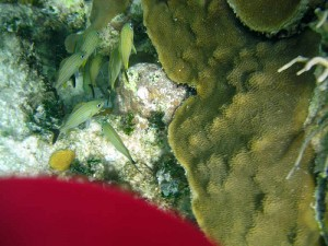Mahahual Hotel Maya Luna. Diving Costa Maya. Beautiful coral and fish