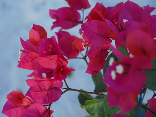 Mahahual Hotel Maya Luna. Bougainvilla in our garden