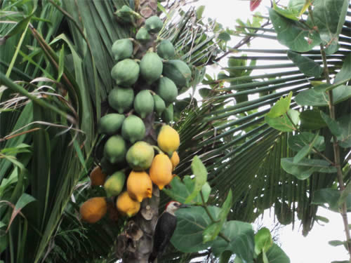 Mahahual Hotel Maya Luna. Papaya Tree in our gardenual
